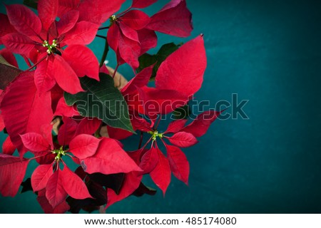 Red poinsettia flower, traditional Christmas decoration.