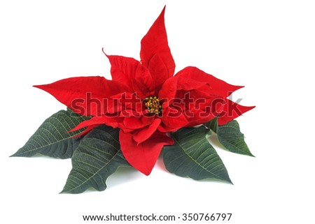 Red poinsettia flower with leaves isolated on white background