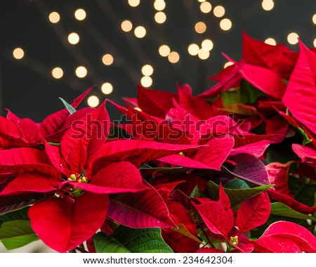 Red poinsettia flowers in bloom with lights and dark background - stock photo