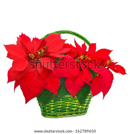 red poinsettia in basket. red christmas flower on white background