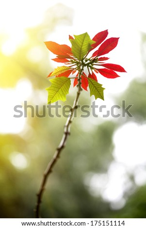 red poinsettia in full bloom - stock photo