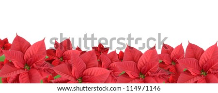 Red poinsettia isolated on a white background, border