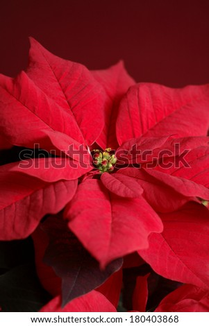 Red poinsettia on red background - stock photo