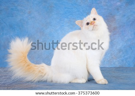 Red point Birman kitten sitting on blue mottled background