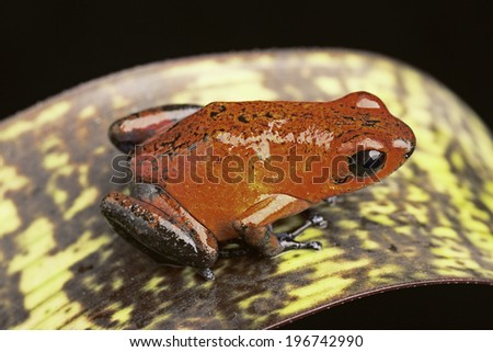 red poison arrow frog, Dendrobates pumilio Siquerres (black jeans) from the tropical rain forest of Costa Rica kept in a rainforest terrarium as a pet animal - stock photo