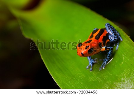 red poison frog sitting on green leaf in amazon rain forest of Peru poisonous animal with warning colors - stock photo