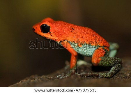 Red Poisson frog Granular poison arrow frog, Dendrobates granuliferus, in the nature habitat, Costa Rica. Rare Amphibien in the tropic forest. Close-up portrait of poison red frog.