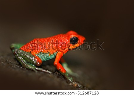 Red poisson frog Granular poison arrow frog, Dendrobates granuliferus, in the nature habitat, Costa Rica. Rare Amphibien in the tropic forest. Close-up portrait of poison red frog. Frog in the forest.