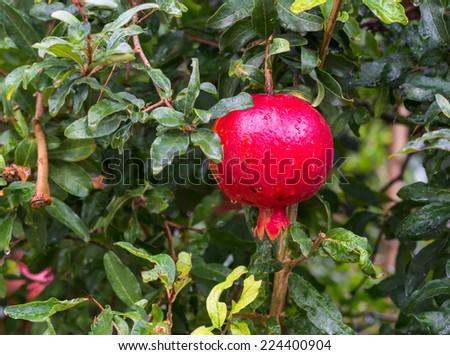 Red pomegranate on tree  - stock photo
