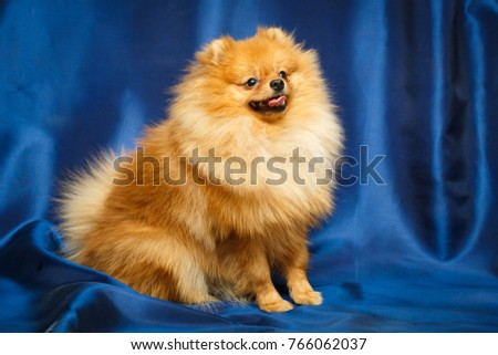Red Pomeranian Spitz dog