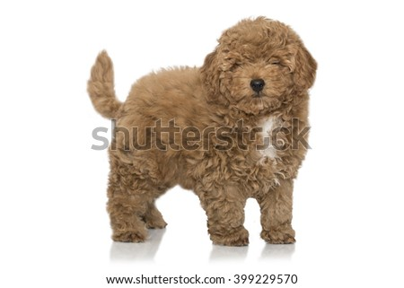 Red Poodle Puppy, isolated on white