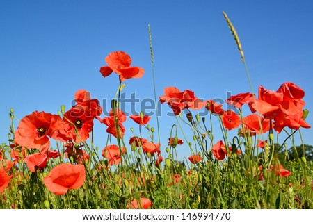 Red poppies against the blue sky - stock photo