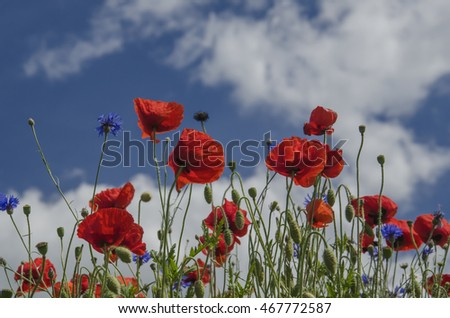 RED POPPIES AGAINST THE SKY