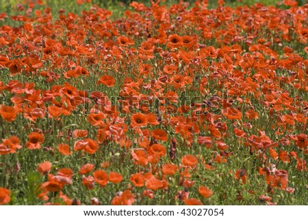 Red Poppies and Green Field