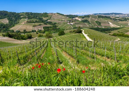 Red poppies and green vineyards on the hills of Piedmont in spring in Northern Italy. - stock photo