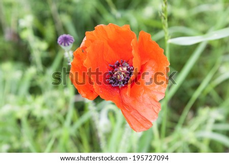 Red poppies anzac remembrance day world war - stock photo