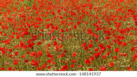 Red poppies blooming in the wild meadow