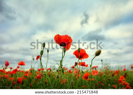 Red poppies close up on stormy skies background field