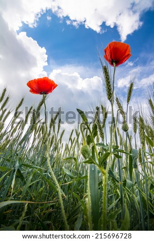 Red poppies close up on stormy skies background field - stock photo