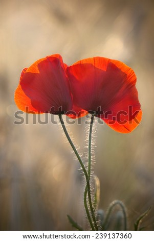 Red Poppies flowering in field - stock photo