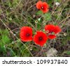 Red poppies in a meadow in the summer Top View - stock photo