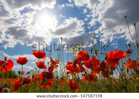 red poppies in a rays of sun - stock photo