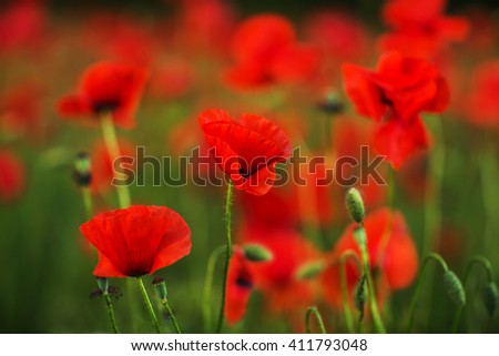 Red poppies in green grass blooming on field. Close-up - stock photo