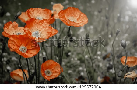 Red poppies in sun beams on the meadow. Selective focus. Aged photo. Retro style postcard. - stock photo
