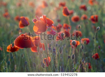 Red poppies in the liSpring nature compositionght of the setting sun.