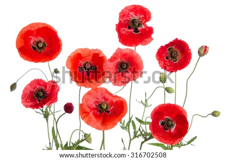 red poppies isolated on white background - stock photo