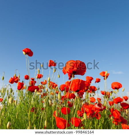 Red poppies on a background of blue sky - stock photo