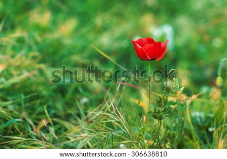Red poppies on a background of green grass - stock photo