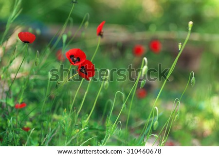 Red poppies on a background of green grass, beautiful - stock photo