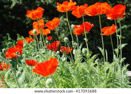 Red poppies on a dark and green background.