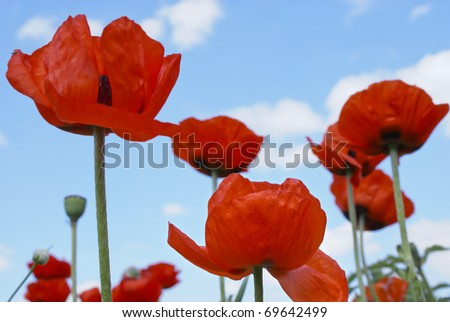 red poppies on blue sky background - stock photo