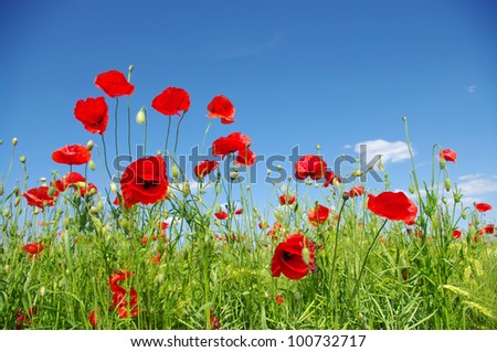 red poppies on green field