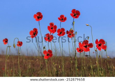 red poppies on green field. Danube Delta, Romania  - stock photo