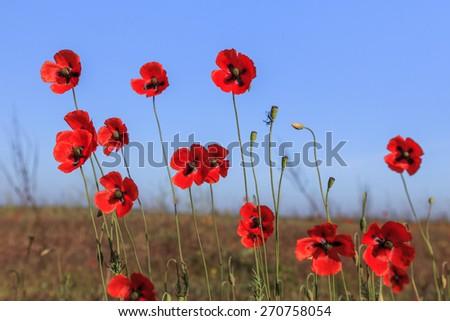 red poppies on green field. Danube Delta, Romania - stock photo