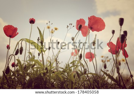 Red poppies on summer meadow. Summer landscape. - stock photo