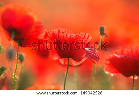 Red poppies on the field,summer in the nature - stock photo