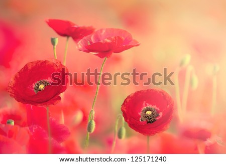 Red poppies on the field with soft filter - stock photo