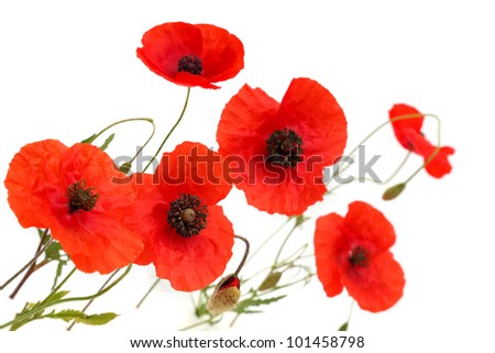 Red poppies over a white background - stock photo