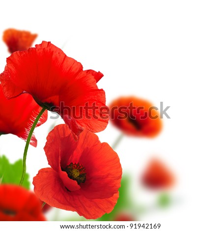 Red poppies over a white background. Border floral design for an angle of page. Closeup of the flowers with focus and blur effect - stock photo