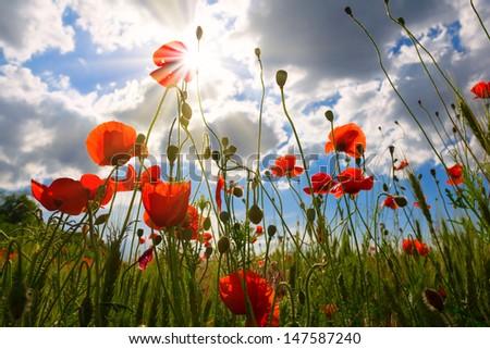 red poppies scene - stock photo