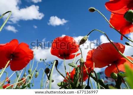 Red poppies view from below into the sky