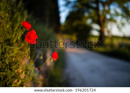 Red poppies with Tuscan road lined with trees in the background, taken with open aperture so the background is blurred - stock photo