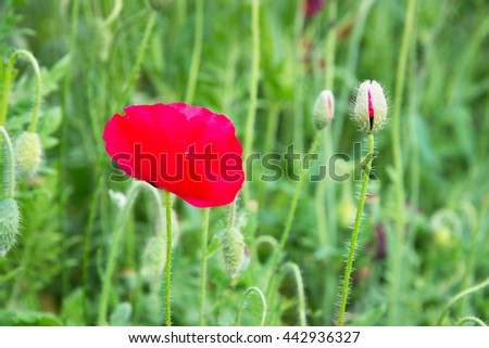 Red Poppy and Red Bud