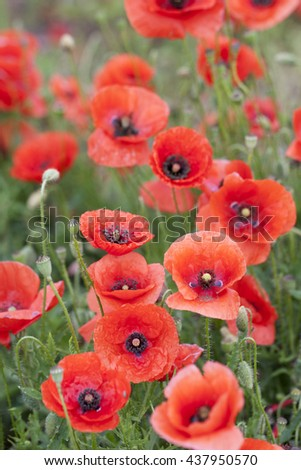Red poppy blooming on field.  Poppies in nature. Macy's spring and summer flowers. Red poppy on green weeds field.  Selective focus. - stock photo