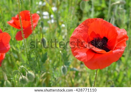 Red poppy blooming on field. Wild red poppies flowers. Poppies in nature. Macy's spring and summer flowers. Red poppy on green weeds field. Poppy flowers. Selective focus.  - stock photo