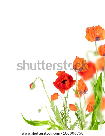 Red poppy blossom on white  background - stock photo